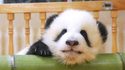 不用羡慕四川人手一只熊猫,学会这招,在家就能养